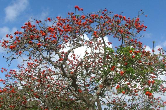 Image result for common coral tree