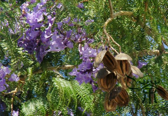 Jacaranda Weed Identification Brisbane City Council
