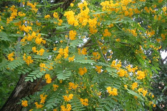 Tipuana Weed Identification Brisbane City Council