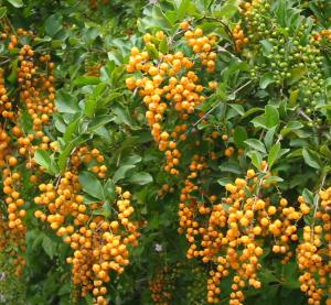 Duranta in fruit