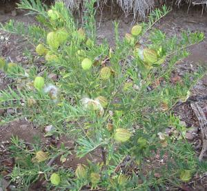 much-branched habit (Photo: Sheldon Navie)