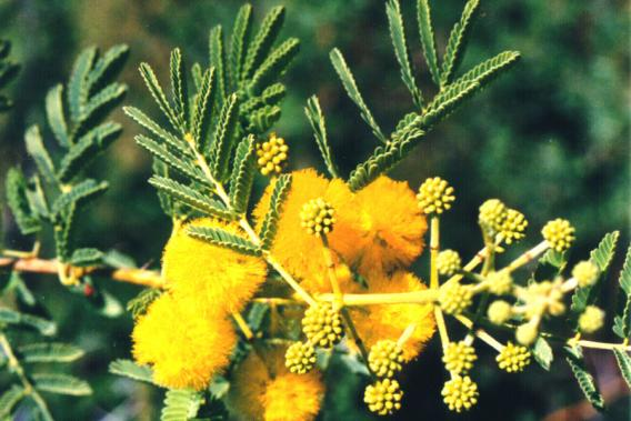 Prickly Acacia Weed Identification Brisbane City Council