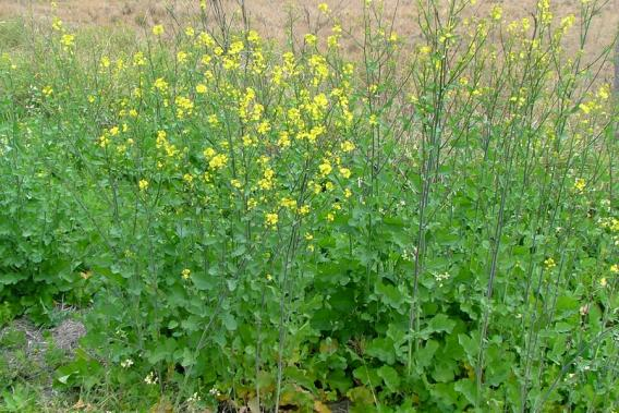 Indian mustard weed identification brisbane city council infestation in flower along a rural roadside photo sheldon navie mightylinksfo
