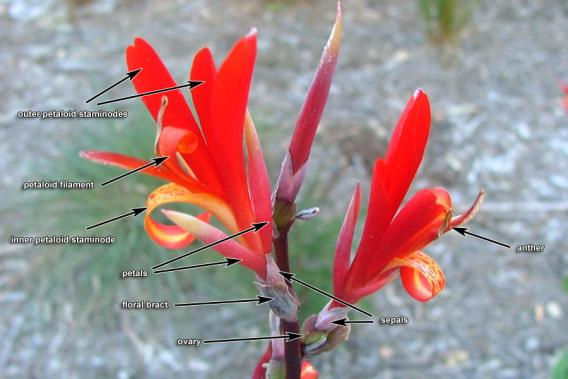 Canna Lily Weed Identification Brisbane City Council