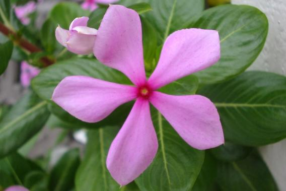 Pink periwinkle weed identification brisbane city council close up of pink flower photo sheldon navie mightylinksfo