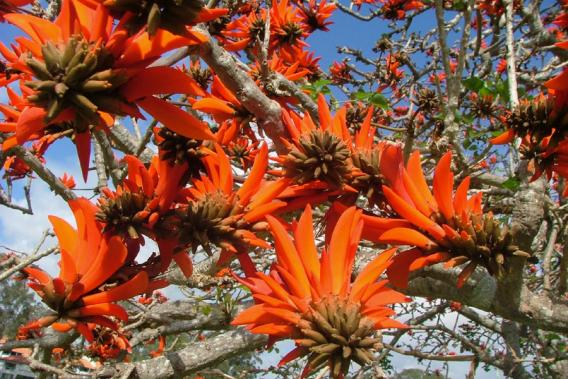 Common Coral Tree Weed Identification Brisbane City