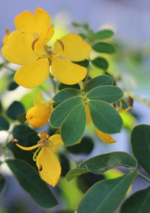 Easter cassia | Weed Identification – Brisbane City Council