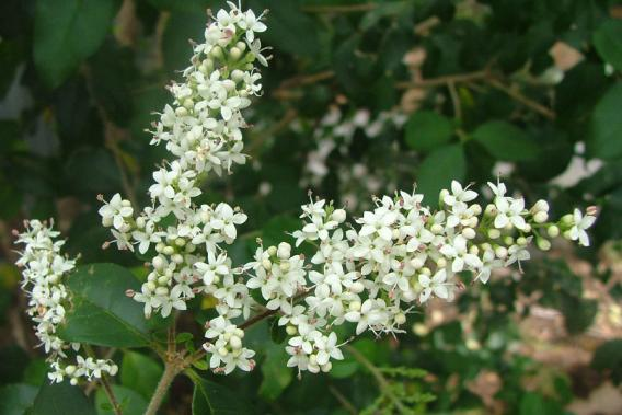 Small Leaved Privet Weed Identification Brisbane City