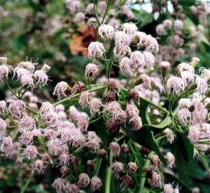 clusters of older flower-heads (Photo: Land Protection, QDNRW)