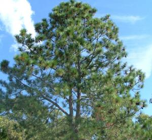 Slash pine weed identification brisbane city council for Mature pine trees